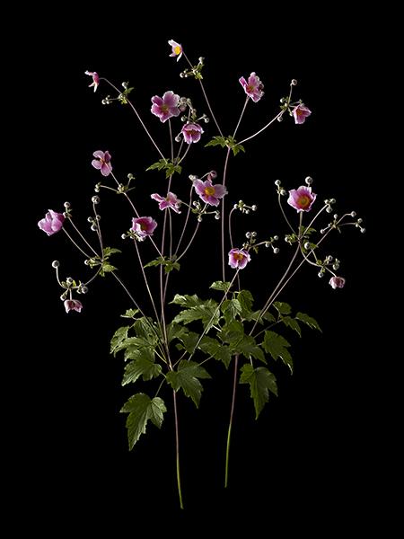 anemone1blog