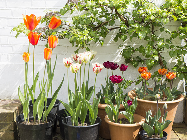tulips4.16_blog