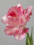 Tulipa 4