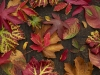 autumnleaves1