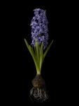 Hyacinthus 1