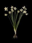 Narcissi 1